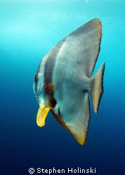 Batfish on safety stop after a dive in South West Rocks, ... by Stephen Holinski