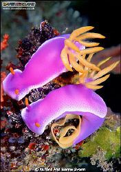 Nudibranch Hypseldoris apolegma. Photographed in the tend... by Richard And Joanne Swann