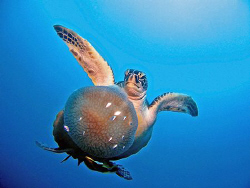 Turtle with value meal - tioman deeparaya by Paul Ng