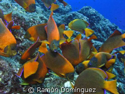 Clarion angelfish. Endemic and beautiful angelfish from R... by Ramón Domínguez