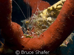 Banded Coral Shrimp in a nice sponge setting.