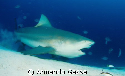 Bull Shark eating during one of our dives in the mexican ... by Armando Gasse