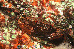 Vivid velvet backed swimming crab surrounded by orange sp... by Mike Clark