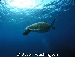 Green Sea Turtle by Jason Washington
