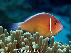 Pink Anemonefish (Olympus E330, Macro lens 50mm) by Henry Jager