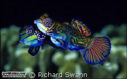 Spawning of the Splendidus  Mandarinfish in mid egg rel... by Richard Swann