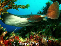 A really friendly and showy ray spotted in Sliema, Malta.... by Michael Zarb