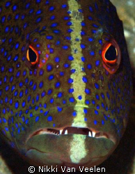 Grouper face taken at Marsa Bareika, Ras Mohamed Park wit... by Nikki Van Veelen