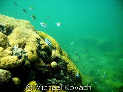 Sergeant Majors on the inside reef at Lauderdale by the Sea. by Michael Kovach