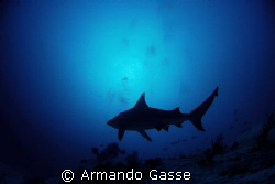 Bull shark at Dusk by Armando Gasse