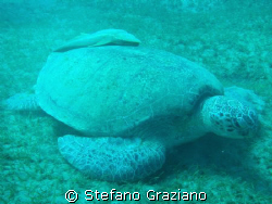 Turtle with Remora fish  Spot: Abudabab bay south egypt by Stefano Graziano