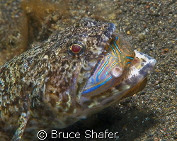 Believe it or not, this puffer actually got away! Taken ... by Bruce Shafer