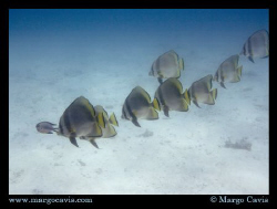 Line of fish by Margo Cavis