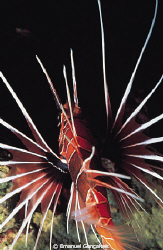 Pterois radiata (Clearfin lionfish), Elphinstone Reef Egy... by Emanuel Gonçalves