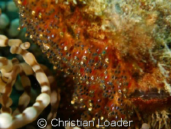 Clark's Anemonefish eggs - fully developed. They hatched ... by Christian Loader