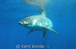 Great White cautiously approaching the baits. by Kent Bonde