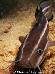 Striped Eel Catfish - saying hello to my camera on a nigh... by Christian Loader