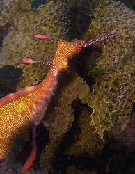 Weedy sea dragon, Sydney by Doug Anderson