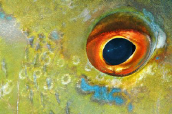 Eye Study, Snapper. by David Heidemann