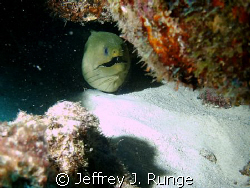 Large green moray eel hidden behind rock formation by Jeffrey J. Runge