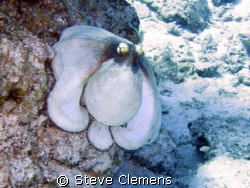 Caribbean Reef Octopus. Ran this through a filter in phot... by Steve Clemens