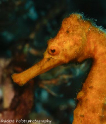 A nice sized seahorse in Cozumel. Canon 400D 100mm. by Paul Holota