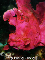 Weedy Scorpionfish in Lembeh by Pheng Chong