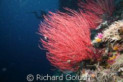 Whip corals-Palau by Richard Goluch