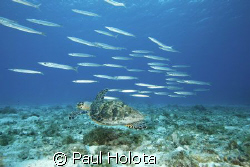 A Hawksbill turtle swims with a school of Southern Sennet... by Paul Holota