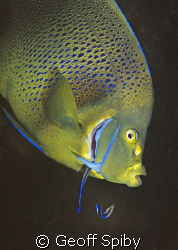 a semicircle angelfish with a couple of cleaner wrasse by Geoff Spiby