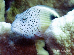 """Freckled Hawkfish""  Taken on a dive at Coral Gardens in ... by Bill Stewart"