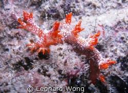 Starry Bornella found at around 18m Wreck at Pulau Salu, ... by Leonard Wong