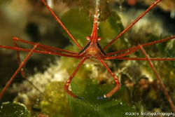 The ubiquitous Arrow crab. Cozumel. Canon 400D 100mm. by Paul Holota