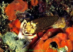 A shrimp (Gnathophyllum elegans) typical inhabitant of un... by Fabrizio Frixa