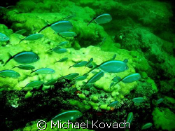 Blue Chromis on the inside reef at Lauderdale by the Sea by Michael Kovach