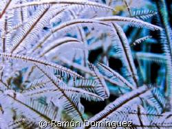 Hydroid forest. Colony of Lytocarpus nuttingi. by Ramón Domínguez