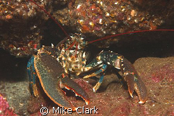 Lobster by Mike Clark