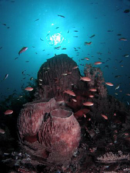 Barrel sponges and anthias on the Liberty wreck, Tulamben by Doug Anderson