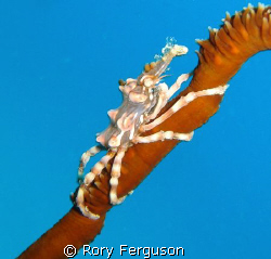 Xeno Crab on whip coral (once it stopped running round to... by Rory Ferguson