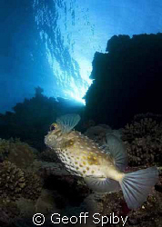 porcupine fish at the Brothers Islands by Geoff Spiby