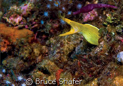 A Blue-Ribbon Eel in the Lembeh Strait. Taken with an Oly... by Bruce Shafer