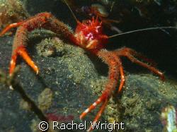 Squat lobster in Loch Fyne by Rachel Wright