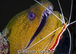 Malaysia, Mabul, moray eel, green moray, symbiotic, shrim... by Beverly Speed