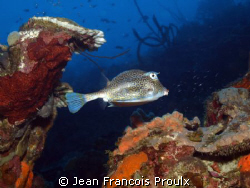 cow fish by Jean Francois Proulx