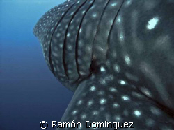 Close view to the gills of a whale shark. Revillagigedo i... by Ramón Domínguez