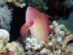Beautyfull Anthias in Red Sea by Francesco Pacienza