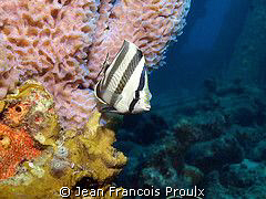 Butterfly fish in Bonaire... olympus E-510 - Ikelite sub... by Jean Francois Proulx