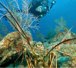 Lobster and diver. by David Heidemann