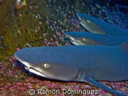 White tip reef sharks trio.  by Ramón Domínguez