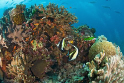 Moorish Idols on the reef in Fiji by Andy Lerner